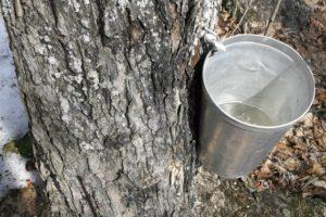 Extraire le sucre des érables (Québec)