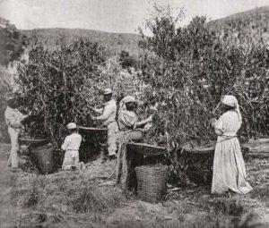 Plantation de café au Brésil, avec des esclaves (vers 1880)