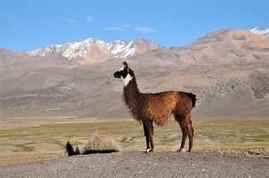 Lama seul