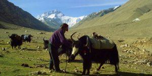 1388000_5_643c_yaks-au-repos-pres-du-mont-everest